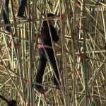 big-bambu-030809